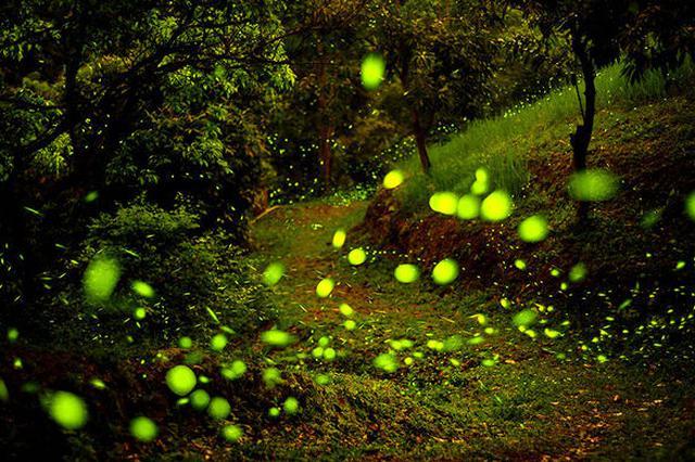 上海放飞萤火虫活动被取消 主办方周浦花海被约谈