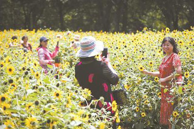 南园滨江绿地1600平方米向日葵绽放 花期至7月底