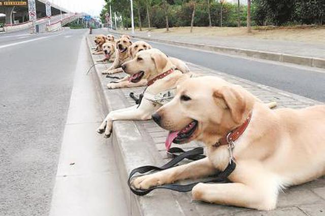 上海第一条导盲犬11岁诞辰 至今守护在瞽者妈妈身边