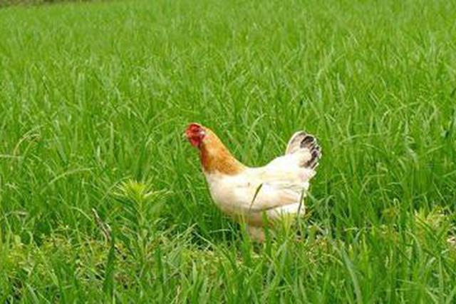 小区绿化带搭鸡棚散养鸡披发臭味 反应2个多月无人管
