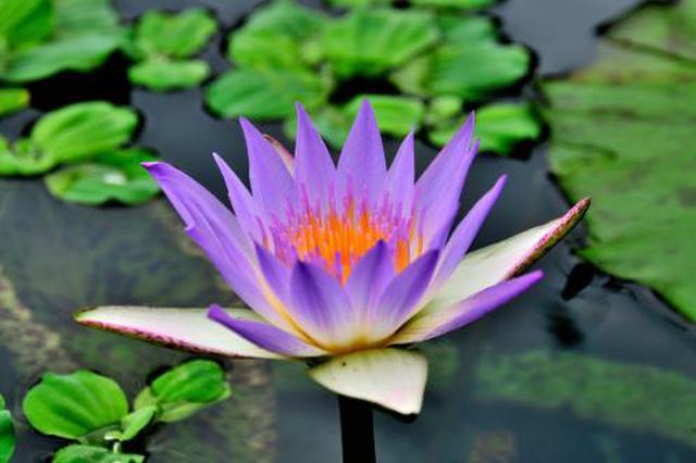 上海辰山植物园睡莲展8月18日起开启 共300多种品种