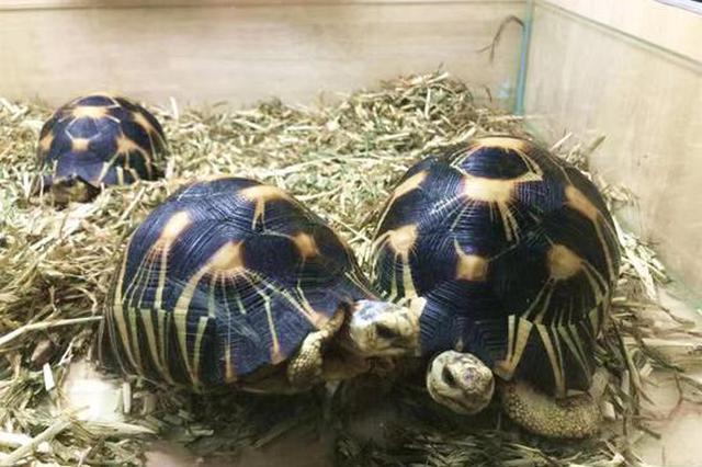 8名嫌疑人非法收购出售珍稀陆龟 被上海警方抓获