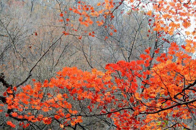 上海各高校枫叶景不雅正浓 多公园也可不哑摄叶