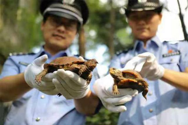 上海海关查获一起走私活体乌龟案 2000只龟中41只濒危种