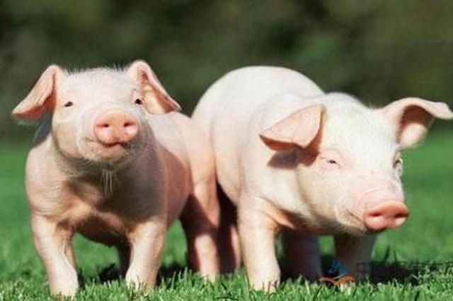 农业农村部提18项任务:确保生猪产能2021年恢复正常