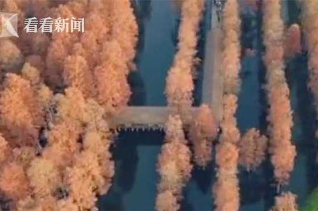 上海又一网红打卡地就在这里 最美水杉林变红