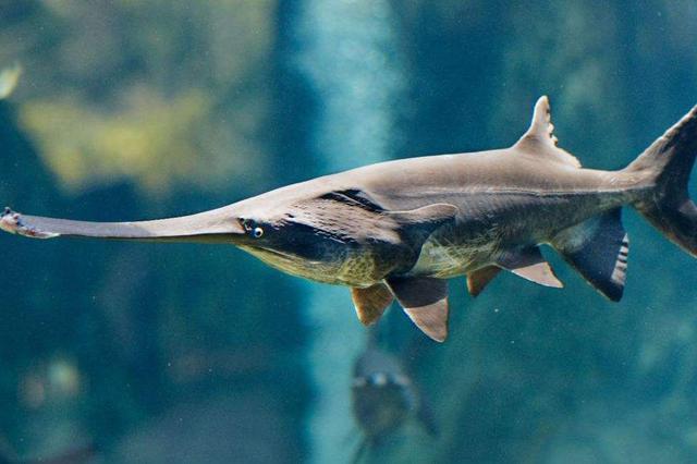 国家一级重点保护动物长江白鲟已灭绝 有水中老虎称号