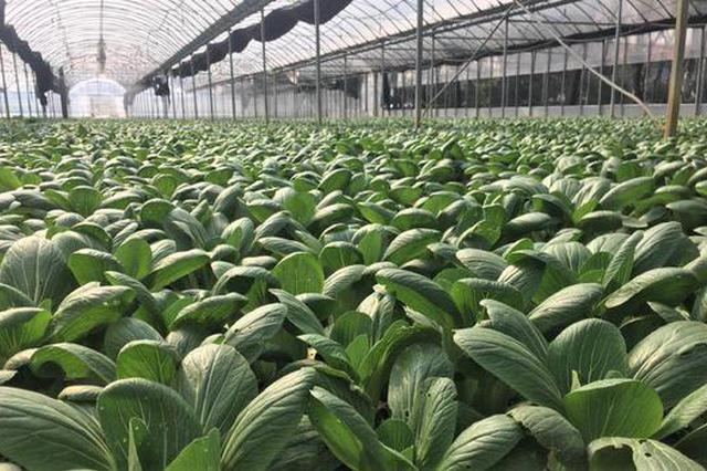 上海2月以来播种绿叶菜面积3万亩 日发卖蔬菜约3000吨