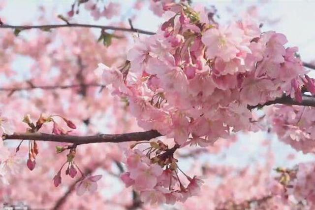 辰山植物园早樱陆续绽放 沪上开启网上云赏花模式