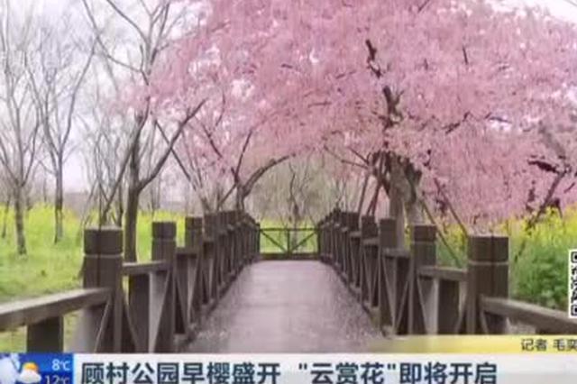 """顾村公园早樱盛开 """"云赏花""""即将开启"""