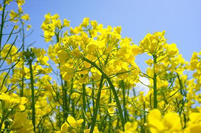 上海:油菜花已盛开春天近在眼前 快来一起云端赏花吧