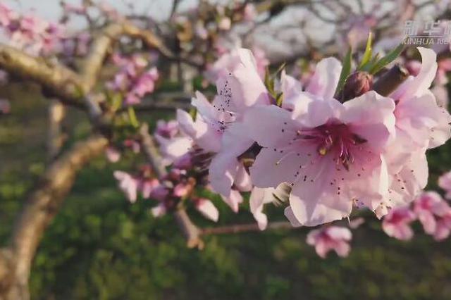 草长莺飞春来到 现实版十里桃花绽放上海嘉定果园