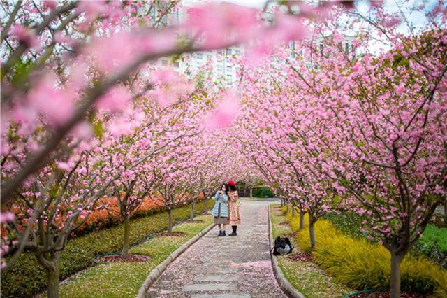 海棠花开 人民公园1500余株海棠花进入最佳观赏期