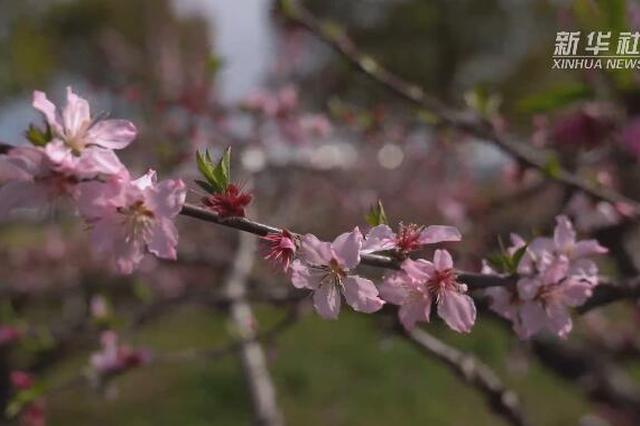 上海郊区周边游逐渐复苏 崇明桃花春色 时光莓好