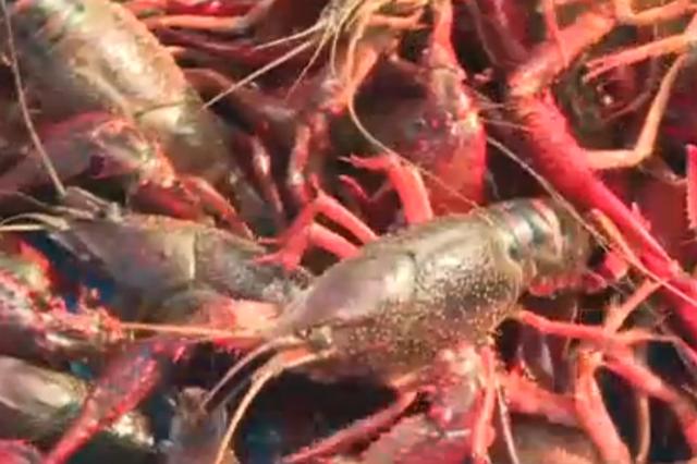 崇明4000亩清水小龙虾开捕 每天供应1万多斤小龙虾