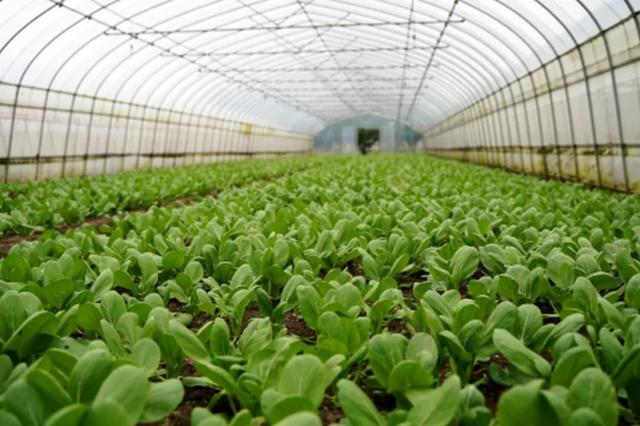 2022年上海将形成年产值超102亿元蔬菜优势特色产业群