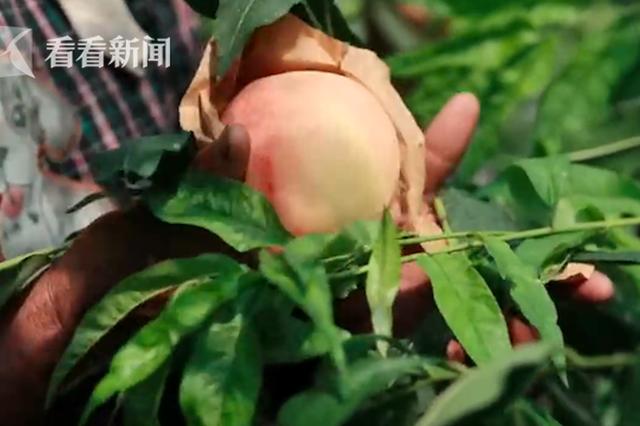 上海南汇水蜜桃上市 价格与去年持平