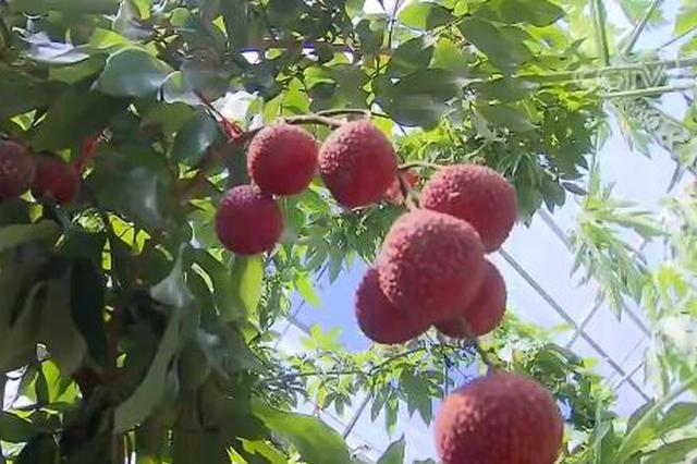 上海采用种养结合温室大棚 成功栽种荔枝等热带水果