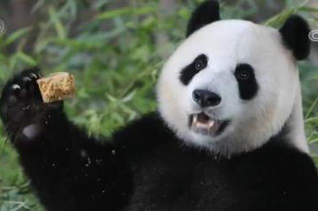 大熊猫嘉嘉迎来8周岁生日 上海野生动物园为其庆生