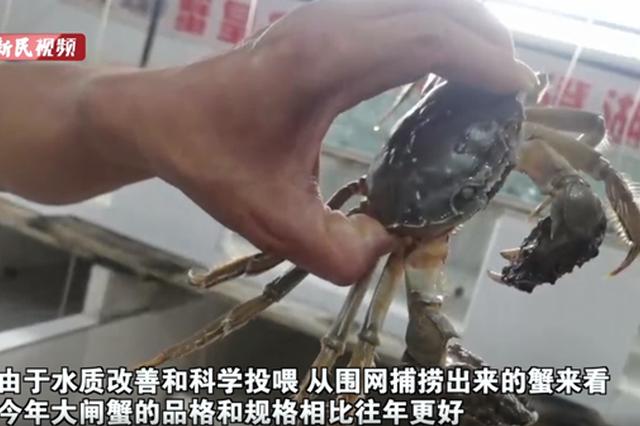 阳澄湖大闸蟹21日正式开捕 品格和规格相比往年更好