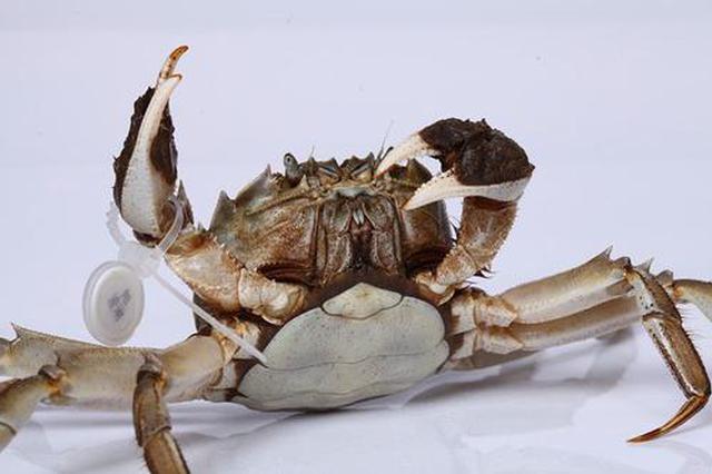 黄浦江大闸蟹开捕 亩均产量比往年增长约20%