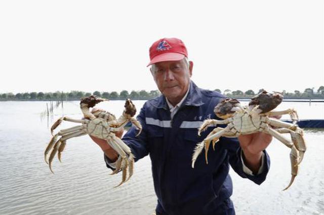 崇明乌小蟹摘帽变身极品大闸蟹 一只螃蟹有九两重