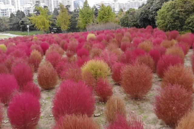 上海世纪公园两万平方米红叶地肤花海进入最佳观赏期