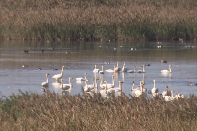 2万多只雁鸭正在崇明嬉戏 观鸟已入黄金期