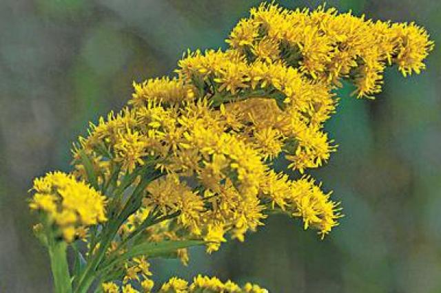 恶性入侵植物加拿大一枝黄花或卷土重来 沪将加强除治