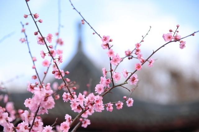 第八屆上海梅花節開幕 126個品種40000株梅花爭奇斗艷