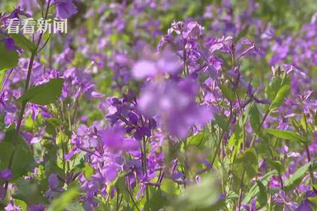 花博会南园布展进入冲刺阶段 百亩花海盛开在即
