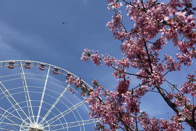 上海樱花节3月12日开幕 万余株樱花邀你共赴浪漫之约