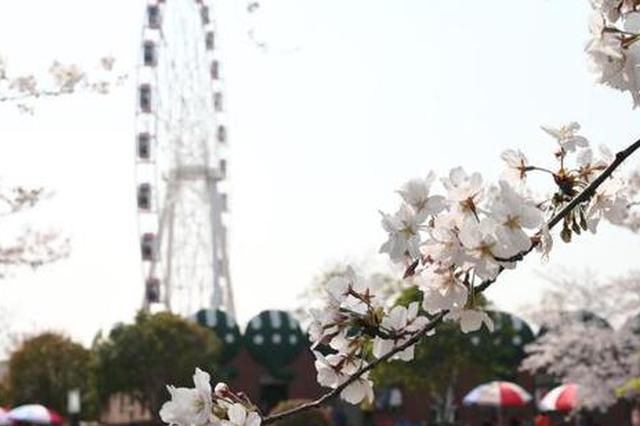 上海迎来最美樱花季 染井吉野樱大片怒放