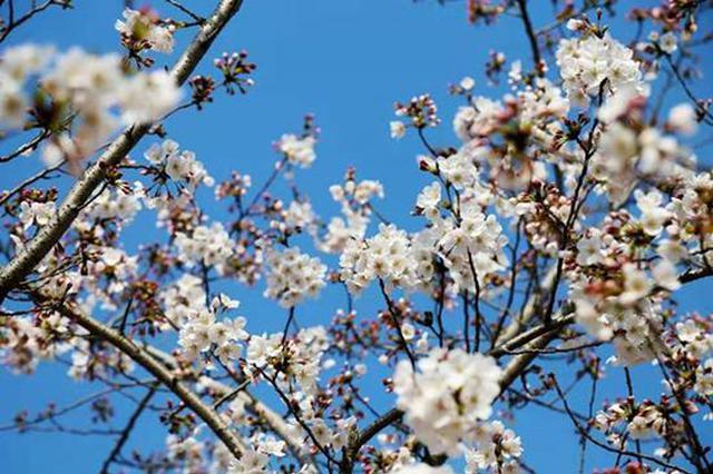 顾村公园迎来最美赏樱期 游园小贴士一览