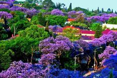 津巴布韦蓝花楹树盛开