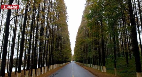 浦东塘下公路水杉树现三色美景 堪称沪上最美公路