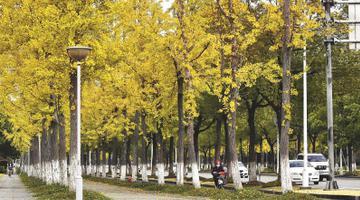 初冬上海街头树木展现最美姿态