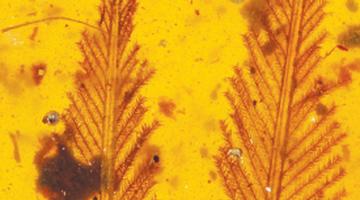 古生物学家发现一亿年前古鸟类尾羽琥珀