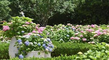 首个八仙花主题花园将迎最佳观赏期