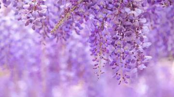"""嘉定""""紫云廊""""开园"""