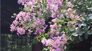 沪上这些公园里紫薇花盛开