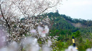 沪上能秋季赏樱的公园