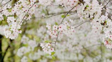 四川十里野生樱花开了