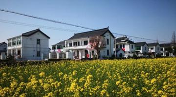上海郊区油菜花盛开