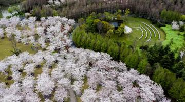 航拍顾村公园 樱花竞相绽放