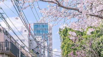 春天来了樱花开了