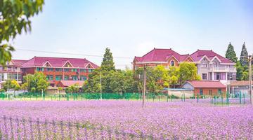 宝山这里有一片浪漫的紫色花海