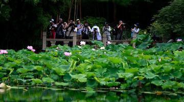上海古猗园荷舞飘香 吸引众多游客前来赏花