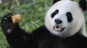 大熊猫嘉嘉迎来8周岁生日