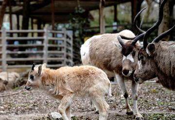 上海动物园牛科宝宝亮相
